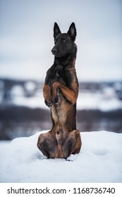 Malinois at winter