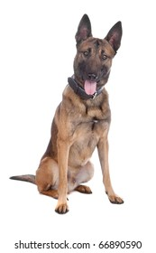 malinois,belgium shepherd isolated on a white background