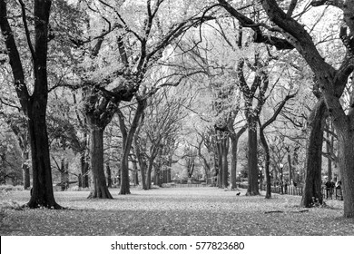 The Mall and Literary Walk in Central Park contains one of the bigest and last remains of American Elms
