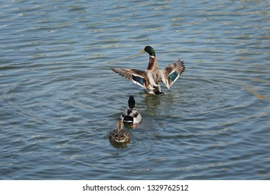 The mallard, adult female and male wild duck standing, swimming and playing in river or lake water