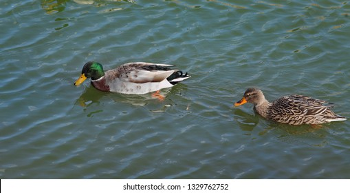 The mallard, adult female and male wild ducks swimming in river or lake water