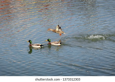 The mallard, adult female and male wild ducks swimming and flying in river or lake