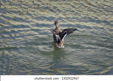 The mallard, adult female wild duck standing in river or lake water and playing