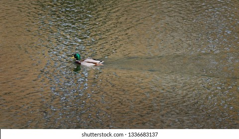 The mallard, adult  male wild duck swimming in river or lake water with reflections