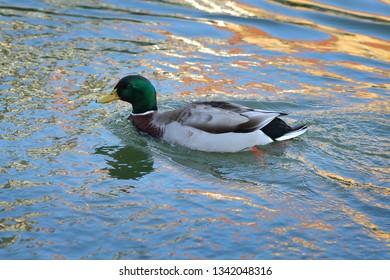 The mallard, adult  male wild duck swimming in river or lake water