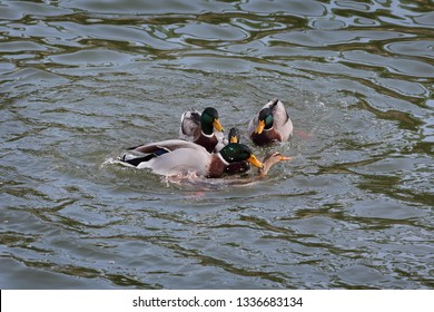 The mallard, adult male wild ducks fighting in water for female and reproduction, mating
