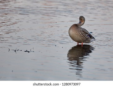The mallard (Anas platyrhynchos) is a dabbling duck that breeds throughout the temperate and subtropical zone This duck belongs to the subfamily Anatinae of the waterfowl family Anatidae.