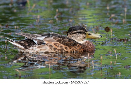 The mallard (Anas platyrhynchos) is a dabbling duck that breeds throughout the temperate and subtropical Americas, Eurasia, and North Africa atc.  This female is resting in the pond