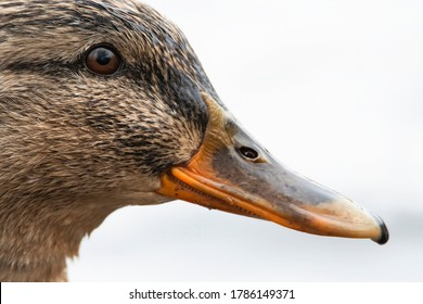 The mallard (Anas platyrhynchos), detailed portrait of female duck. Brown eye, black strip from the top to the beak, brown feathers, orange beak. White diffused background. Scene from wild nature.