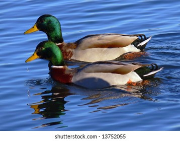 The Mallard (Anas platyrhynchos), also known as the wild duck, is a dabbling duck.