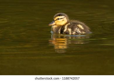 Mallard chick swimming in the shallow water. Edwards Gardens, Toronto, Ontario, Canada.