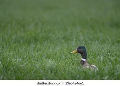 Mallard drake in grass