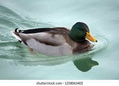 Mallard Drake in light green still water