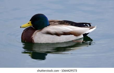 mallard drake swimming in  ketring lake in littleton, colorado