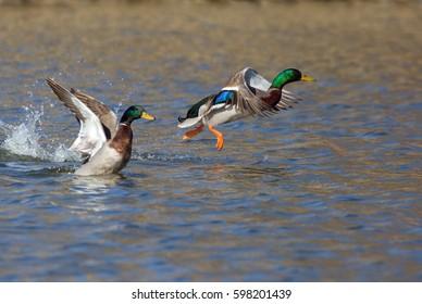 Mallard Drakes takes flight from lake