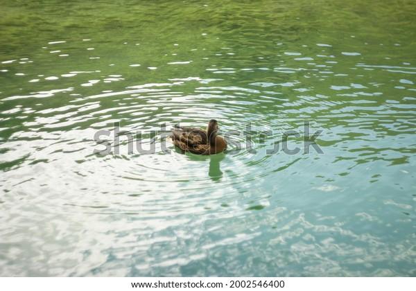 mallard-duck-anas-platyrhynchos-female-6