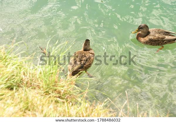 mallard-duck-anas-platyrhynchos-mallards