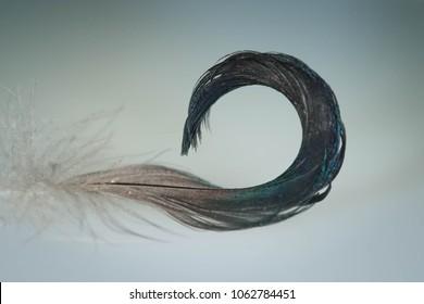 Mallard duck, anas platyrhynchos, tail feather curl, drake curl, taken in wild, in Minnesota, Agnieszka Bacal.