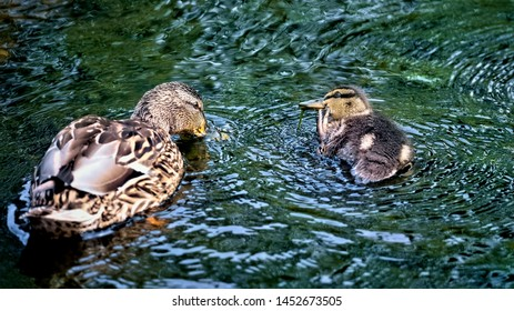 Mallard duck with chick paddling around on a river with the chick scratching his face