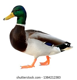 Mallard Duck with clipping path. Colourful wild duck drake isolated on white background