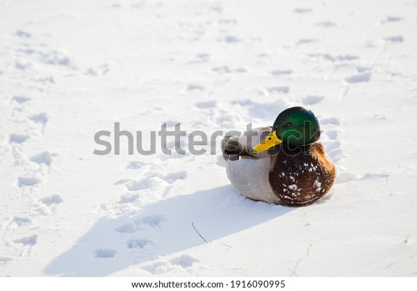 mallard-duck-drake-close-sitting-600w-19