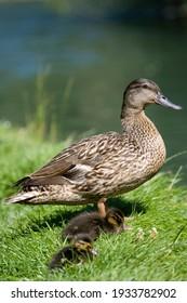 Mallard duck with ducklings by water