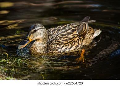 Mallard duck female at pond.