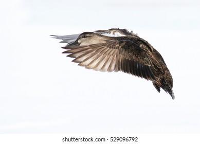 Mallard duck in flight in Canadian cold winter