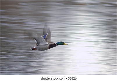 Mallard duck in flight over frozen water