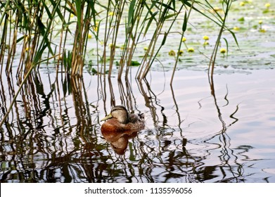 Mallard duck floating in reeds