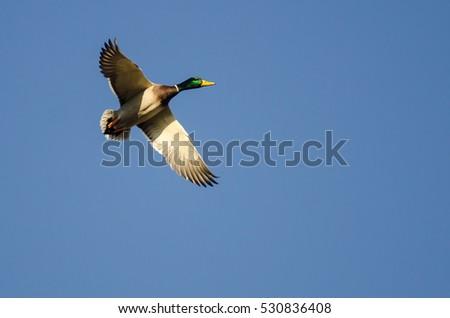Mallard Duck Flying Blue Sky Stock Photo Edit Now 530836408