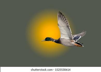 Mallard duck flying into the sunset on a foggy misty morning background