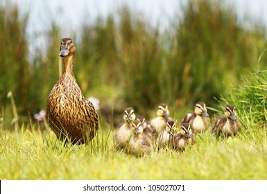 Mallard duck and her clutch of ducklings