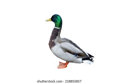 A mallard duck isolated against a white background