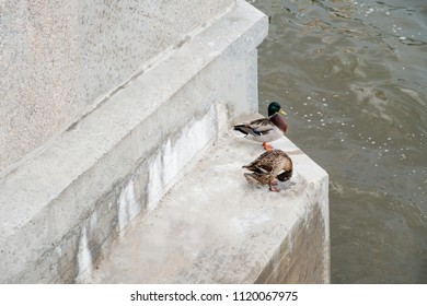 Mallard duck male and female couple perched on steps of Moskow-river embankment, copyspace on the concrete wall