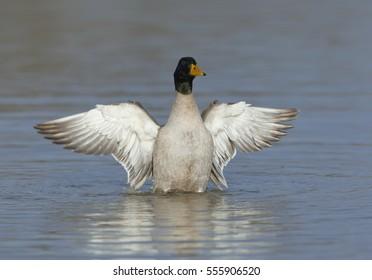 Mallard duck male open the wings
