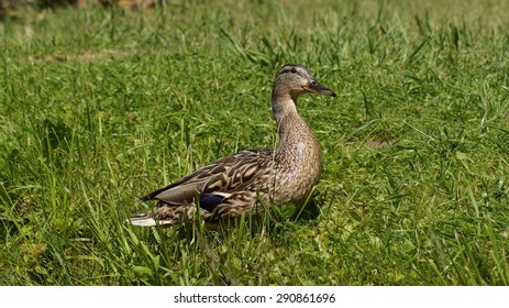 Mallard Duck in natural environment