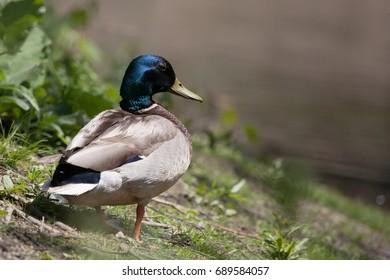 Mallard Duck on the Pond Edge