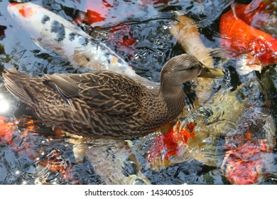 Mallard duck with pound reflection