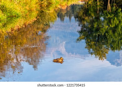 Mallard duck swims across a pond in a autumn time.