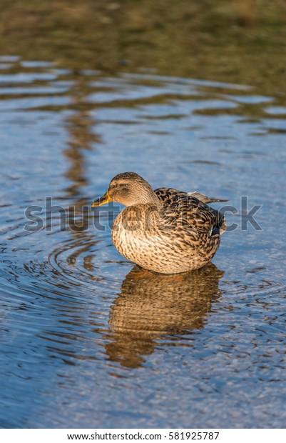 Mallard Duck in water  England