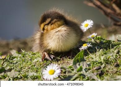 Mallard duckling (Anas platyrhynchos) sleeping among daisies