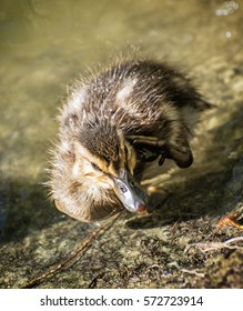 Mallard duckling - Anas platyrhynchos in the water. Young one. Detailed natural scene.