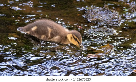 Mallard duckling foraging for food as it paddles around in a shallow river