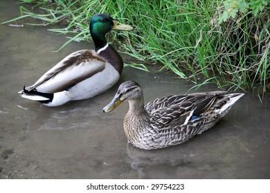 Mallard ducks, male and female.