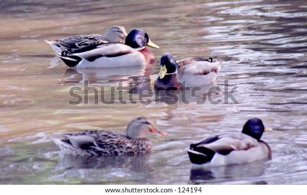 Mallard Ducks on a pond