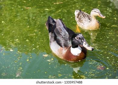 Mallard ducks on the water