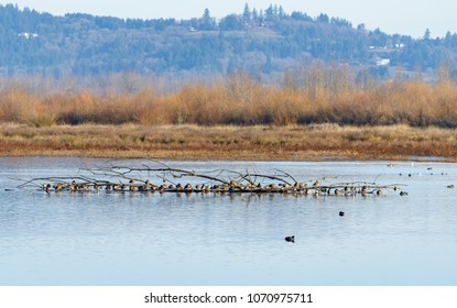 Mallard Ducks Resting and Wintering in the Mid-Willamette Valley, Marion County, Oregon