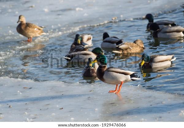 mallard-ducks-swim-cold-river-600w-19294