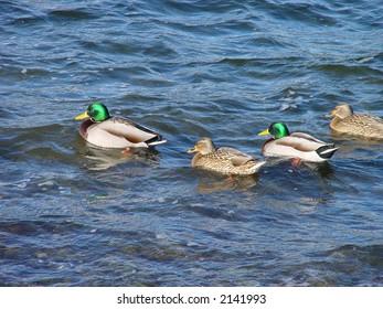 Mallard ducks swimming in ocean.